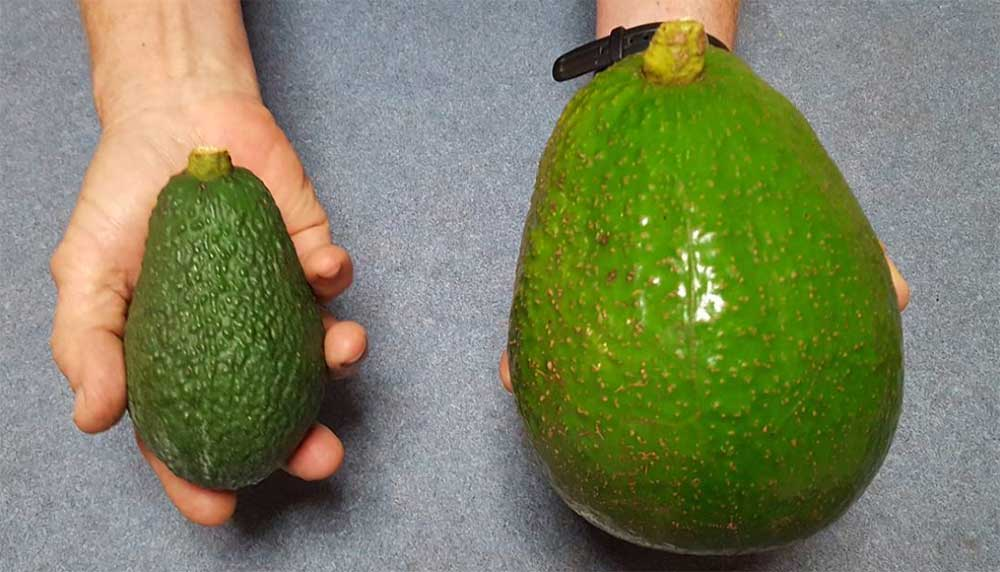 Nee, dit is geen Photoshop. Deze avocado's zijn 5 keer groter dan normale, maar écht. Niet voor niets worden ze Avozilla genoemd.