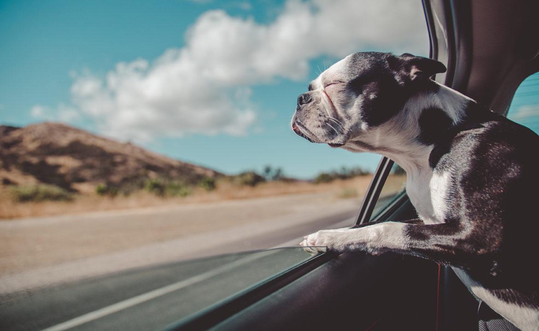 Man geeft hond rijles