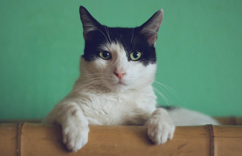 Luidst spinnende kat ter wereld maakt evenveel lawaai als stofzuiger